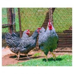 Fertile Potchkoekkoek eggs